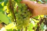 Oferty pracy w Norwegii przy zbiorach winogron – winobranie