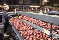 Praca sezonowa w Norwegii przy pakowaniu warzyw