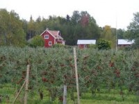 Sezonowa praca Norwegia zbiory jabłek, owoców od sierpnia w Hardanger