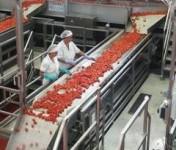 Norwegia praca fizyczna od zaraz przy sortowaniu warzyw przy taśmie w Fana