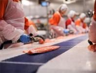 Praca w Norwegii na produkcji przy rybach bez znajomości języka od zaraz Stavanger