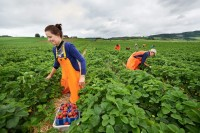 Praca w Norwegii przy zbiorach truskawek na wakacje 2014 (bez języka)