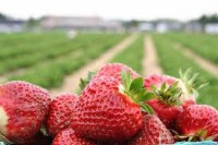 Na wakacje praca Norwegia zbiory truskawek, owoców 2014