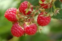 Praca w Norwegii przy zbiorach owoców od lipca – wakacje 2014 Hamar