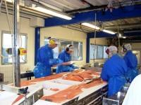 Produkcja praca w Norwegii w przetwórni rybnej przy filetowaniu bez języka