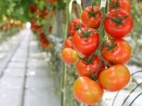 Sezonowa praca Norwegia zbiory papryki, pomidorów bez języka w Hamar od czerwca 2014