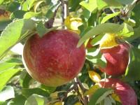 Sezonowa oferta pracy w Norwegii zbiory owoców jabłek, gruszek od sierpnia 2014