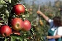 Oferty pracy w Norwegii przy zbiorach owoców bez znajomości języka w Magnor