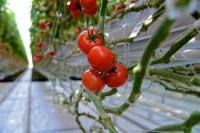 Praca Norwegia zbiory warzyw w szklarni bez znajomości języka Hønefoss wrzesień 2014