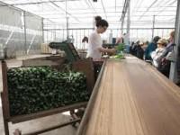 Sezonowa praca Norwegia sortowanie tulipanów bez znajomości języka Buskerud