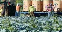 Rolnictwo praca Norwegia przy zbiorach warzyw na polu od zaraz Råholt