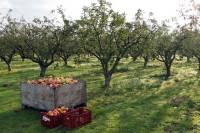 Oferta sezonowej pracy w Norwegii zbiory jabłek i gruszek od zaraz Magnor 2015