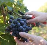 Od zaraz Norwegia praca sezonowa przy zbiorach winogron Knapper