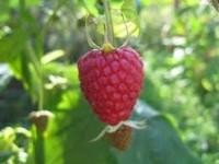 Zbiory owoców miękkich wakacyjna praca w Norwegii czerwiec 2016 Kongsvinger