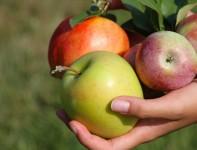 Od zaraz sezonowa praca w Norwegii przy zbiorach jabłek Lillehammer 2016