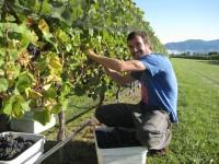 Sezonowa oferta pracy w Norwegii od zaraz zbiory winogron na 6 tyg. Knapper 2016