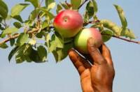 Oferta sezonowej pracy w Norwegii od zaraz zbiory jabłek, gruszek Seljord