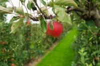 Norwegia praca sezonowa przy zbiorach jabłek sierpień 2017 w Hamar z zakwaterowaniem