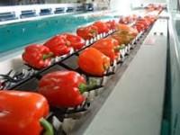 Bez języka ogłoszenie pracy w Norwegii pakowanie warzyw od zaraz Moss 2017