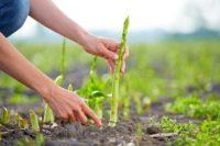 Od kwietnia 2020 sezonowa praca w Norwegii przy zbiorach szparagów i innych warzyw, Hoppestad