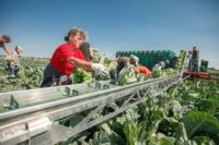 Od zaraz bez języka sezonowa praca w Norwegii zbiory warzyw 2020 w Hoppestad