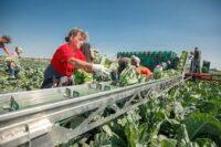 Sezonowa praca w Norwegii przy zbiorach warzyw od zaraz bez języka w Hoppestad 2020