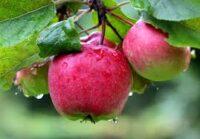 Od zaraz dam sezonową pracę w Norwegii zbiory jabłek w sadzie z Hamar 2020