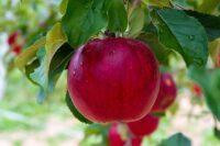 Sezonowa praca w Norwegii od zaraz zbiory jabłek i gruszek w Lillehammer 2020
