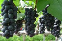 Zbiory winogron Norwegia praca sezonowa od zaraz bez języka w Lillehammer 2020
