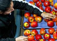 Norwegia praca fizyczna bez znajomości języka sortowanie owoców od zaraz Oslo 2021