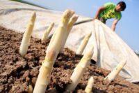 Norwegia praca sezonowa 2021 przy zbiorach szparagów bez języka od kwietnia w Hoppestad