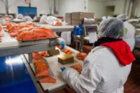 Norwegia praca na produkcji rybnej przy łososiu bez języka od września 2021 we Frøya