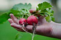 Od zaraz bez języka sezonowa praca w Norwegii zbiory warzyw Hoppestad 2021